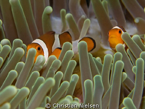 I like the colours of this Anemone with its resident Anem... by Christian Nielsen 